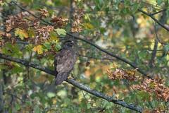 Common Buzzard (finor) Tags: sony alpha a6500 ilce6500 sel100400gm nature fall autumn buteobuteo commonbuzzard mäusebussard