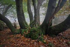 Am Feldberg im Taunus (nordelch61) Tags: hessen mittelgebirge taunus wald bäume moos wurzeln nebel äste zweige laub