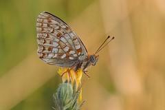 P7095390_hf (alfred.reinartz) Tags: makro insekten butterfly schmetterling perlmutterfalter argynnis niobe mittlerer