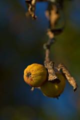 Forgotten (pstenzel71) Tags: bäume natur pflanzen apfel apple withered vertrocknet herbst autumn fall darktable bokeh
