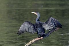 Cormorant (ctrolleneos) Tags: canon80d 100400 swanlake yateley hampshire cormorant