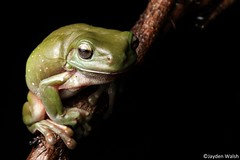 Green Tree Frog (Jayden Walsh) Tags: litoria caerulea green tree frog wildlife sydney castlereagh amphibian