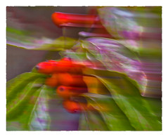Blowin' in the Wind (Timothy Valentine) Tags: 2018 home berry dogwood intentionalcameramovement misc 52weeks 1018 tree outback eastbridgewater massachusetts unitedstates us