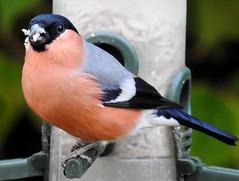 Gimpel*Bullfinch*Pyrrhula pyrrhula (BrigitteE1) Tags: gimpel vogel bird bullfinch dompfaff singvogel songbird pyrrhulapyrrhula specanimal