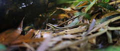 Spotted forest skink at Sok riverside (B℮n) Tags: spottedforestskink skink sphenomorphusmaculatus salamander lizard reptile khao sok national park ang pai ha swimming hole forest jungle trail headquarters trekking stream river water falls adventure walking hiking green lizards flora fauna path rock thailand เขาสก fresh rainy day trek walk bamboo wildlife lush hike overgrown branches tree nature hagedis banghuarat 50faves topf50 100faves topf100