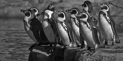 Humbolt penguins (Gill Stafford) Tags: gillstafford gillys image photograph england chester zoo cheshire conservation animal penguin humbolt