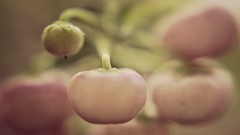 Rosa Knallerbsen-Pracht (Renate Bomm) Tags: beeren blumenundpflanzen flora inflickr knallerbsenstrauch macroorcloseup makro purpurbeere renatebomm samyangaf35mmf28 sonyilce6000 zierstrauch