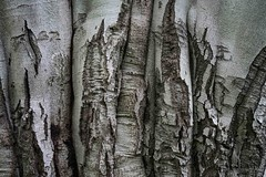 Ancient Trunk (Broot Thanks for 1 million views!) Tags: mountauburncemetery october cambridge massachusetts fall autumn fagussylvatica europeanbeech beech tree blemish trunk pattern bark