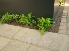 Farnornament (Jörg Paul Kaspari) Tags: parkgarten herbst autumn fall farnornament ornamentales farnband polypodium vulgare polypodiumvulgare tüpfelfarn farn fern porphyr hintergrund background anthrazit grün green