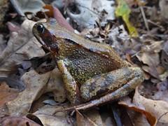Bruine Kikker - Rana temporaria (Alta alatis patent) Tags: lycklamabos autumn mushroom gaasterland bruinekikker ranatemporaria frog