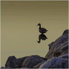 Duck (Luc V. de Zeeuw) Tags: duck rock tolkmicko warmińskomazurskie poland