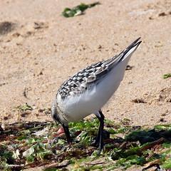 becasseau sanderling 10 (dmes55) Tags: dune oiseau bretagne bécasseau