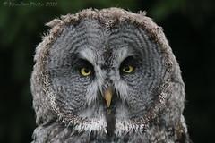 Habichtskauz - Ural owl