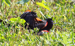 Red-winged Blackbird Death Match 19 (Kaptured by Kala) Tags: agelaiusphoeniceus redwingedblackbird blackbird maleredwingedblackbird whiterocklake dallastexas sunsetbay loud noisy closeup battle fighting territorial aggressive