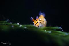 Y E L L O W (Randi Ang) Tags: polyceraabei nudi nudibranch seaslug tulamben bali indonesia underwater scuba diving dive photography macro randi ang canon eos 6d 100mm randiang