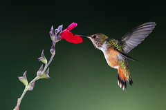 Simplicity (Patricia Ware) Tags: 500mmf4lisusm allenshummingbird backyard birdsinflight california canon fullframe manhattanbeach multipleflash selasphorussasin tripod ©2018patriciawareallrightsreserved specanimal