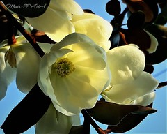 488. CREAM MAGNOLIAS: Sweet As Buttercups (Meili-PP Hua 2) Tags: flowers spring springflowers macro petals blooms blossoms flora buds sky mlpphflora stamens pistils pale pallid white creamy cream flower pastel magnolias