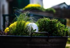 Jeden Tag ein Foto (84) (fotodesignscherlack) Tags: pflanzen blumen herbst erika gräser stauden bepflanzung kübel badewanne kübelbepflanzung spätsommer wwwfotodesignscherlackwordpresscom scherlack bokeh unschärfe schärfentiefe fokus natur grün gelb