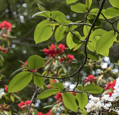 Can't see the leaves for the flowers (Ian@NZFlickr) Tags: leaves spring magnolia rhododendron green red glenfalloch garden peninsula dunedin otago nz