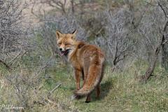 Vos / Fox (pclaesen) Tags: fox vos vossen mammal zoogdier awd amsterdamsewaterleidingduinen nature natuur naturephotography natuurfotografie nikon nikonfotografie nikonshots nikond3200 sigmalenses sigmalens sigma18300mm