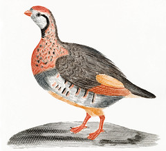 A Partridge by Johan Teyler (1648-1709). Original from the Rijks Museum. Digitally enhanced by rawpixel. (Free Public Domain Illustrations by rawpixel) Tags: otherkeywords partridge alone animal antique art artwork beautiful bird color colorful design detail detailed drawing fauna feather feathers fly forest fowl gamebird grey illustrated illustration johanteyler leg name native natural nature old orange paint painting plumage plume portrait poultry red redlegged retro single tail veldhoen vintage wild wildlife wing wings yellow