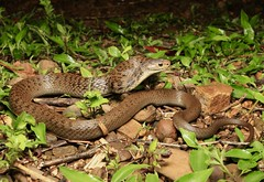 Rough Scaled Snake (Mitch Thorburn) Tags: rough scaled snake springbrook south east queensland