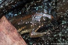Occidozyga martensii (GeeC) Tags: amphibia animalia anura cambodia chordata dicroglossidae frogstoads kohkongprovince nature occidozyga occidozygamartensii ranoidea tatai kh
