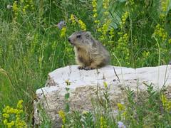 Marmotton à son pupitre de conférence ... (ViveLaMontagne67) Tags: france alpes alpen alps dévoluy bure marmotton mignon cute marmot young flowers meadow prairie jeune 250v10f 500v20f