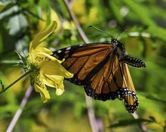 MonarchButterfly_SAF6847-2 (sara97) Tags: danausplexippus butterfly copyright©2018saraannefinke endangered missouri monarch monarchbutterfly nature photobysaraannefinke pollinator saintlouis towergrovepark inflight flight