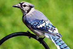 Beautiful Blue Jay (Anne Ahearne) Tags: wild bird animal nature wildlife blue jay portrait closeup songbird birdwatching