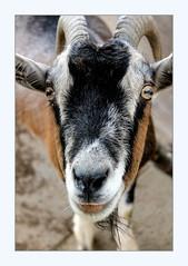 his face at first just goatly (overthemoon) Tags: switzerland suisse schweiz svizzera romandie jura franchesmontagnes rougesterres restaurant lesvoyageurs auboisderrière goat chèvre portrait friendly curious animal horns eyes