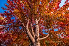Fall colors (HisPhotographs.com) Tags: downtown fall toronto autumn colors tree bluesky orange yellow red leaves sugarbeach sugar beach sugarbeachtoronto
