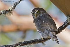 Northern Pygmy-Owl (Gregory Lis) Tags: northernpygmyowl glaucidiumgnoma britishcolumbia gorylis gregorylis nikon nikond7200 owl