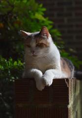 Gracie Jo (rootcrop54) Tags: graciejo neighbor neighbors female dilute calico friend brickwall neko macska kedi 猫 kočka kissa γάτα köttur kucing gatto 고양이 kaķis katė katt katze katzen kot кошка mačka gatos maček kitteh chat ネコ