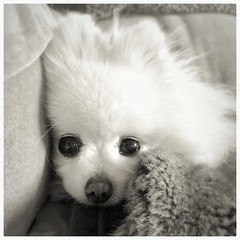 Miss Molly (mariannedeselle (slowly catching up)) Tags: molly pomeranian pom littledog cutedog spitz chien perro