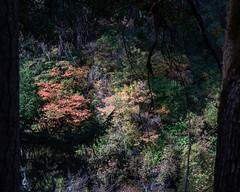 Leaves_119911 (gpferd) Tags: plant tree burney california unitedstates us