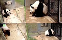 Mei Xiang & Tian Tian thru the howdy windows 2018-10-11 at 8.34.15–9.06.32 AM (MyFoto:)) Tags: ccncby pandas endangered vulnerable meixiang tiantian smithsonian nationalzoo standing howdywindow