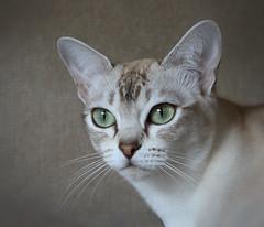 Elsie (pouncealot) Tags: catportrait cat photo aww beautiful pet petportrait