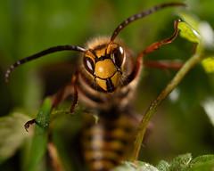 European Hornet - Vespa crabro (viking__77) Tags: 2018 70mmf28dgmacro a7iii autumn eatonwood england hornet nwt nottinghamshire nottinghamshirewildlifetrust october sssi sigma70mmf28dgmacroart sigmaart70mmf28dgmacro siteofspecialscientificinterest sony sonya7iii vespacrabro vespinae countryside footpath insect macro outdoors