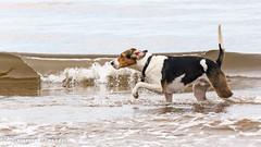 wavebreak! (RCB4J) Tags: ayrshire clydecoast firthofclyde irvinebeach jakob rcb4j ronniebarron scotland sonyslta77v sonydt18250mmf3563 art babygrace dobermanterrier dogs photography play running sand sea siameselurcher trailhound