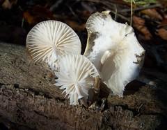 Marasmius wynneae Pearly Parachute (ERIK THE CAT Struggling to keep up) Tags: norburywoods fungi staffordshire ngc npc