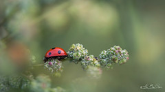 Une douceur qui charme l'âme - A sweetness that charms the soul (minelflojor) Tags: tamronsp90mmf28dimacro11vcusd coccinelle fleur branche macro bokeh flou pattes nature insecte plante nourriture ladybug flower coupling plugged blurring paws insect plant food animal