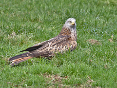 Red Kite (stephen.reynolds) Tags: red kite gigrin farm powys wales bird prey grass