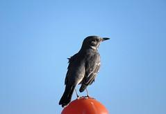 A Little Wind Blown (Patricia Henschen) Tags: alamosa alamosanationalwildliferefuge nationalwildliferefuge colorado bird songbird backroad thrasher sage sagethrasher rural sanluisvalley autumn