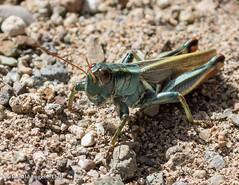 Grasshopper: possibly Thomas's Two-striped Grasshopper (Malanoplus thomasi) - - San Pedro Riparian National Conservation Area, Sierra Vista, AZ/10 (Ron Thill) Tags: 2018 az arizona millvillewash october riopedrorivervalley sanpedroriparianconservationarea fall southeasternarizona