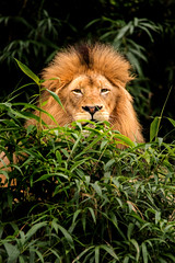 Hiding 3-0 F LR 10-7-18 J123 (sunspotimages) Tags: animal animals wildlife nature zoo zoos zoosofnorthamerica lion lions malelion malelions nationalzoo fonz fonz2018