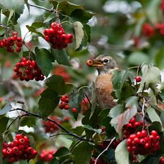 Berries aplenty (Philipp Hullmann) Tags: americanrobin centralpark greatlawn hawthorn manhattan newyork robin vogel wanderdrossel weisdorn bird