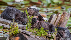 Northern River Otter (bbatley) Tags: otter northernriverotter wildlife