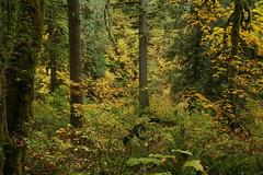 DSC09978 (wwwindy10) Tags: fallcolors gorge latourellfalls guywtalbot maples vinemaple columbiarivergorge