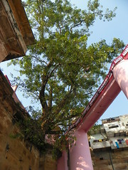 Varanasi 102g - tree (juggadery) Tags: 2015 india varanasi benares banaras kashi cityoflight tree flora urban architecture
